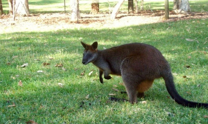 Wallaby à The Basin